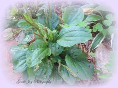 Gentle Joy Photography: Quick Healing With Plantain