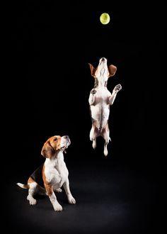 Beagle Envy…