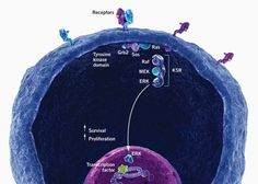Learn more about the mitogen-activated protein kinase (MAPK) pathway. Transcription, Neuroscience, Pathways, Investigations, Brain, Cancer, Survival, Medical, Learning