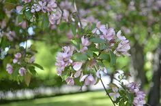 Vaaleanpunaiset puut Summer Photos, Plants, Summer Pictures, Plant, Planets