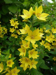 gele stervormige bloempjes van de wederik. (lysimachia vulgaris )