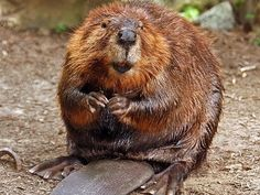The National Animal of Canada Is the Beaver, Which Are Extremely Common Throughout the Country Canada Memes, Canada Funny, Canada 150, Visit Canada, Canadian Things, I Am Canadian, Canadian History, Canadian Symbols, Canadian People