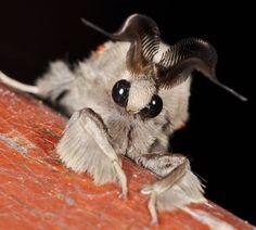 La Polilla Poodle o polilla caniche (poodle-moth en inglés) es posiblemente una nueva especie de artrópodo. Hasta ahora, se sabe que es una polilla del orden de los lepidopteros