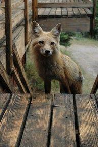 fox at back door.  wish I had such a beautiful, wild, wise back-door friend.