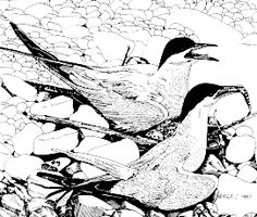 Drawing of Common Terns