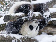 Snowy panda somersault.