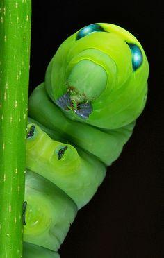 oleander hawk moth caterpillar.