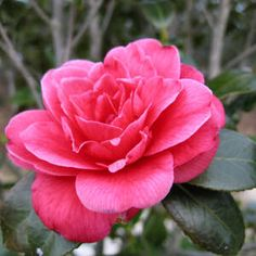 The camellia was designated the state flower of Alabama in 1959, replacing the original state flower, the goldenrod.