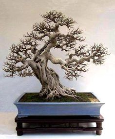Fig (Ficus retusa) Penjing created by Ye Mingxuan from Guangdong Province. This tree, tall, Use this shape for ficus Plantas Bonsai, Bonsai Plants, Bonsai Garden, Bougainvillea Bonsai, Bonsai Ficus, Bonsai Forest, Maple Bonsai, Succulents Garden, Air Plants