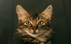 Télécharger fonds d'écran Le Maine Coon, le museau, les animaux mignons, les animaux de compagnie, les chats, le Maine Coon, le chat domestique