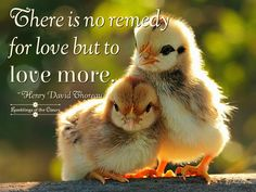 There is no remedy for love, but to love more #Thoreau #love #compassion #kindness #caring #animals #chick