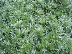 ARTEMISIA Grown for its fine, feathery, aromatic, silver leaves. Requires well-drained soil in full sun A. absinthium 'Lambrook Silver' AGM Small greyish flowers in July and August. Artemisia Absinthium, Absinthe, Health Advice, Dream Garden, Evergreen, Garden Landscaping, Projects To Try, Landscape, Flowers
