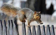 Cute Squirrel Walking On A Fence