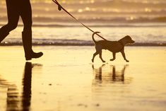 Photograph: Dog walking on a leash on the beach at sunset Dog Beach, Beach Walk, Winter Pictures, Couple Pictures, Walking Pictures, Kitten Food, Diy 3d, Winter Instagram, Dog Walking