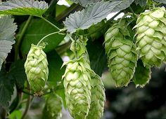 yes, not a vegetable either, but hops are so pretty. and one doesn't live by vegetables alone.