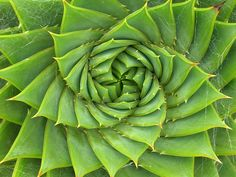 Aloe plant...mmm math in nature