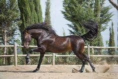 """RENCOROSO VII (Elegante De Nadales - Rencorosa II) 13/04/2008 Breeder/Owner: Yeguada de La Cartuja """"HIERRO DEL BOCADO"""", Spain ©Tussochtass -Djurfotografering"""