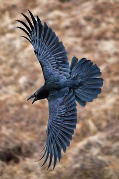 ❤❤ GORGEOUS VIEW OF THE RAVEN IN FLIGHT! CAN SEE FULL SPREAD OF WINGS AND TAIL FEATHERS. ❤❤