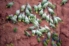 Parrots in the Amazon Rainforest.