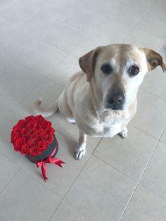 Labrador Retriever, Animals, Roses, Labrador Retrievers, Animales, Animaux, Animal, Animais, Labrador