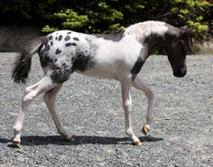 A lovely little pintaloosa horse. Love this. Nice Appy blanket with frosting on a tobiano pattern.