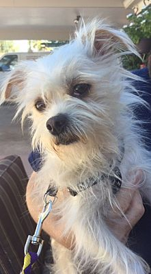 Chandler Az Shih Tzu Meet Sampson A Pet For Adoption In 2020 Brussels Griffon Dog Adoption Shih Tzu