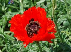 Papaver Orientale 'Allegro' - This 'Oriental Poppy' forms a low clump of coarse leaves, and usually goes dormant and completely disappears by the end of Summer. This has orange blooms which have an eye-catching black centre.