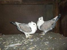 Fancy pigeons for sale Tiruchirappalli - Dog Buy & Sale Pigeons For Sale, Modern Classic, Oriental, Owl, Fancy, Bird, Animals, Pigeon, Animales