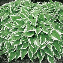 Hosta undulata 'Albomarginata' 15cm Pot Size *** See this great product. (This is an affiliate link) #PlantsSeedsandBulbs