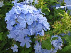 Plumbago auriculata - most beautiful blue ever.