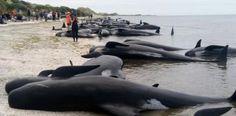 Mueren cientos de ballenas varadas en playa neozelandesa....