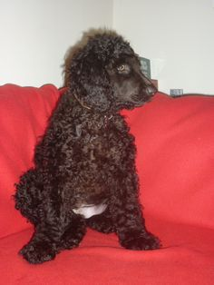 My Irish Water Spaniel puppy.