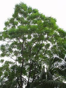 NEEM OIL - 80% of India's supply of neem oil is now used by neem oil soap manufacturers. Although much of it goes to small scale specialty soaps, often using cold-pressed oil, large scale producers also use it, mainly because it is cheap. Additionally it is antibacterial and antifungal, soothing and moisturizing. It can be made with up to 40% neem oil.
