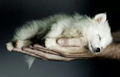 Baby wolf.   (KO) Not so fearsome at this point, but he will get there. Don't rush him. He's sleeping.