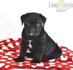 #CaneCorso #Charming #PinterestPuppies #PuppiesOfPinterest #Puppy #Puppies #Pups #Pup #Funloving #Sweet #PuppyLove #Cute #Cuddly #Adorable #ForTheLoveOfADog #MansBestFriend #Animals #Dog #Pet #Pets #ChildrenFriendly #PuppyandChildren #ChildandPuppy #LancasterPuppies www.LancasterPuppies.com Italian Mastiff Puppies, Mastiff Puppies For Sale, Cane Corso Italian Mastiff, Animals Dog, Cute Baby Animals, Cane Corso Puppies, Lancaster Puppies, Mans Best Friend, Puppy Love