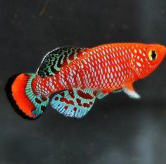 Pair Nothobranchius rachovii KILLIFISH - BEAUTIFUL ESTABLISHED FISH