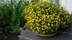 Kukkaiselämää - My flowering life   Huovinkukka syyskuussa