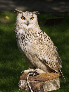 eagle-owl-377192_1920.jpg (1440×1920)