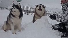 How to keep your malamutes happy.