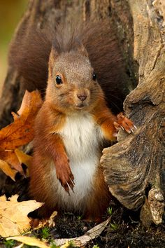 Nice Looking Tree That Squirrel Has. Nature Animals, Animals And Pets, Baby Animals, Funny Animals, Cute Animals, Beautiful Creatures, Animals Beautiful, Cute Squirrel, Squirrels