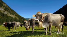 These stylish cows are decorated to celebrate their annual return from high Alpine pastures to the towns and villages where they spend ...