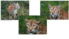 female   eurasian Lynx-  http://tsjok45.wordpress.com/2012/11/17/katten/