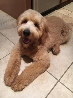 Apricot Goldendoodle