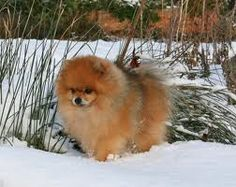 red sable pomeranian - Google Search