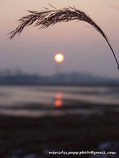 espiga de trigo invernal  SONY MAVICA