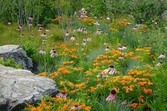butterfly weed, pale purple coneflower and little bluestem grass - by Thomas Lynch Design