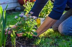 How and When to Mulch a Garden Clematis, Bermuda Grass Seed, Black Lace Elderberry, Crassula, Biennial Plants, Yucca, Garden Sprinklers, Weed Seeds, Colorful Garden