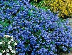 ~ low ground cover ceanothus - Bing images