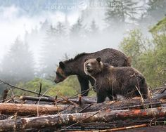 "funkysafari: ""A female grizzly and her cub pick their way over fallen trees during a rain-soaked day on the British Columbia coast. By Suzanne Southon "" Canadian Animals, Canadian Wildlife, Wildlife Safari, Wildlife Nature, World Photography, Wildlife Photography, Wild Life, Amazing Nature Photos, All Gods Creatures"