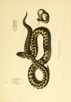 Pelias berus. Die Schlangen Württembergs. Stuttgart :J.B. Metzler,1862. Biodiversitylibrary. Biodivlibrary. BHL. Biodiversity Heritage Library